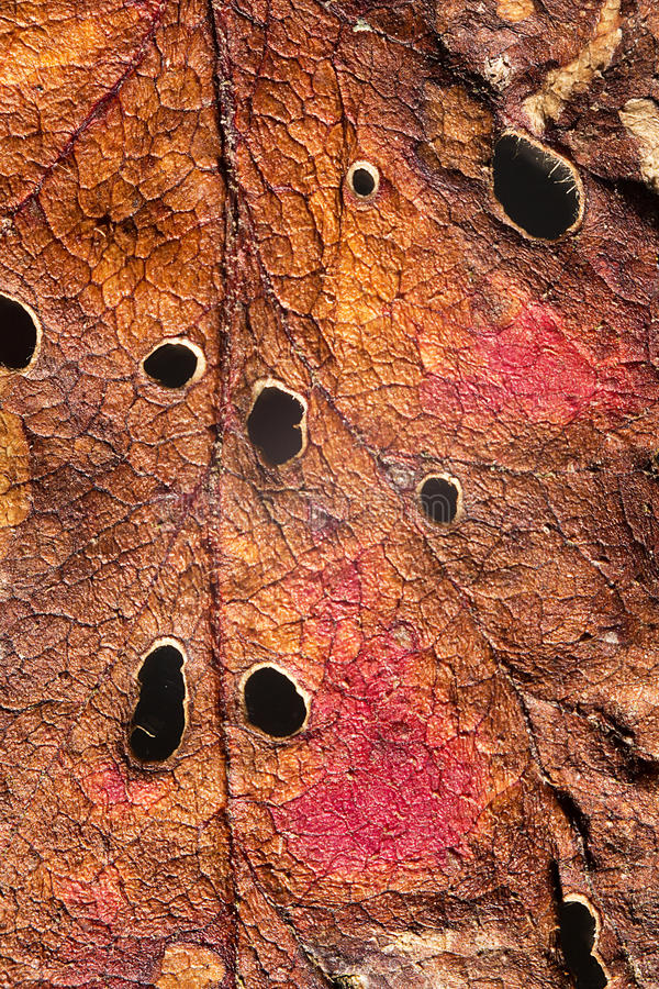 Autumn Leaf Texture fotografia de stock royalty free
