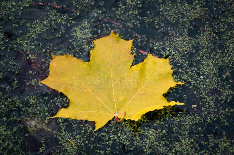 Autumn leaf on the water. Yellow maple leaf in a swamp. Autumn colors. Fall. Yellow maple leaf in a swamp. Autumn leaf on the water. Yellow maple leaf in a stock photography
