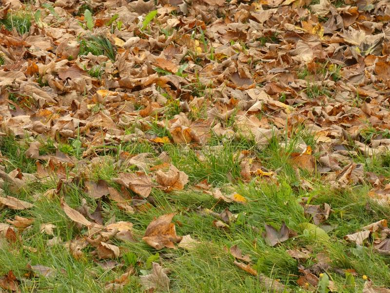 Autumn leafage foliage - fallen leaves on the lawn fall. Season of year with yellow falling leaves stock photography