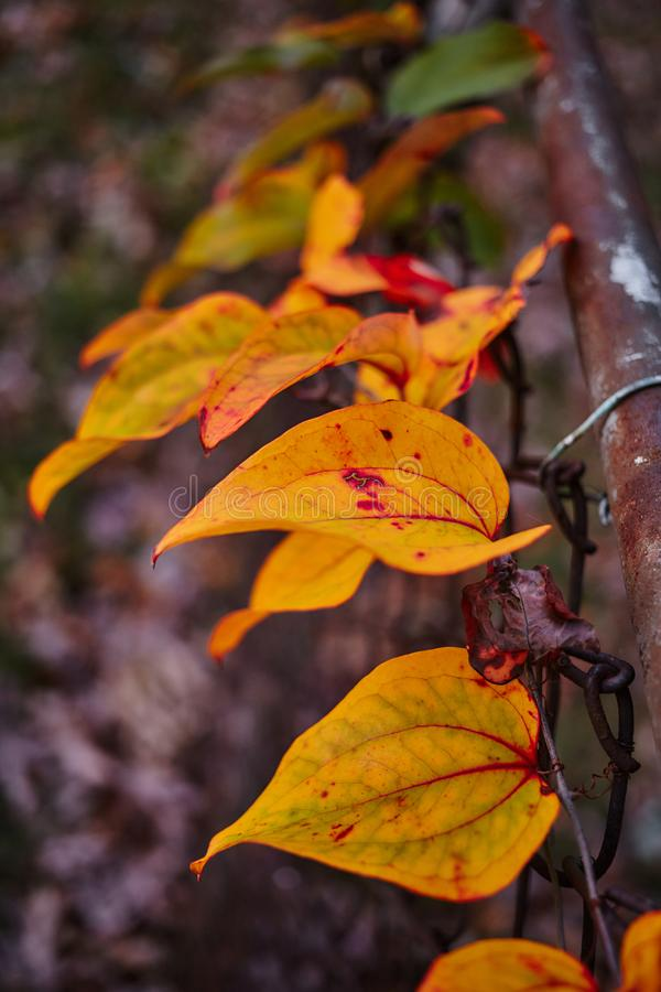 Autumn Leafs colorido fotografia de stock