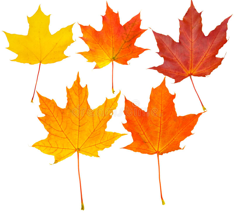 Autumn leafs set (clipping path isolation). Five autumn leafs set isolated over white background (clipping path isolation stock photography