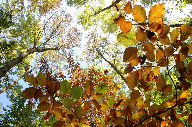 Autumn leafs and trees. Green and brown leafs in the forest - autumn royalty free stock photos