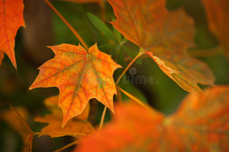 Autumn leave. Abstract autumnal background with colorful leaves royalty free stock images