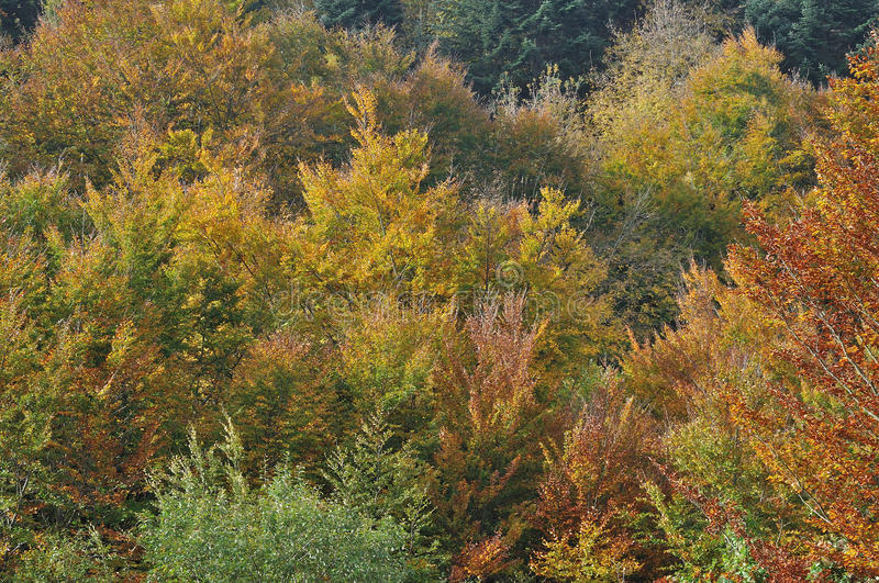 Autumn leaves #1. Colorful autumnal leaves in woods on tuscan apennines near cisa royalty free stock photos