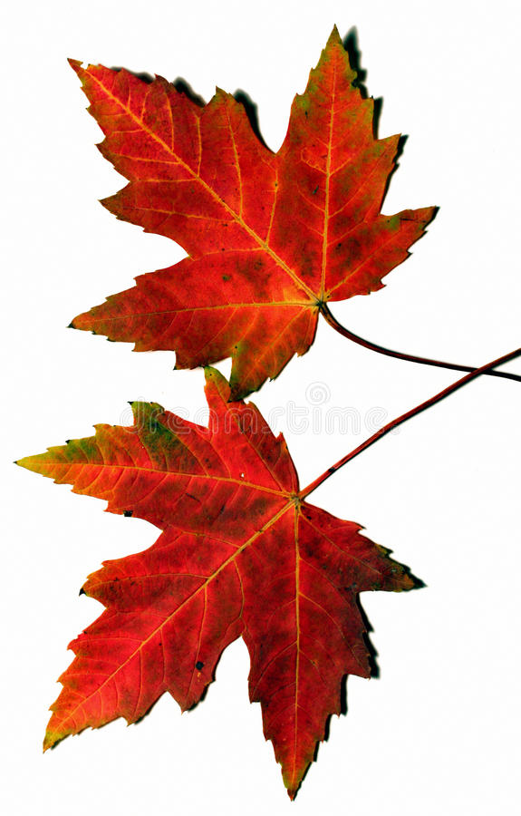 Download Autumn Leaves Royalty Free Stock Photos - Image: 11173168