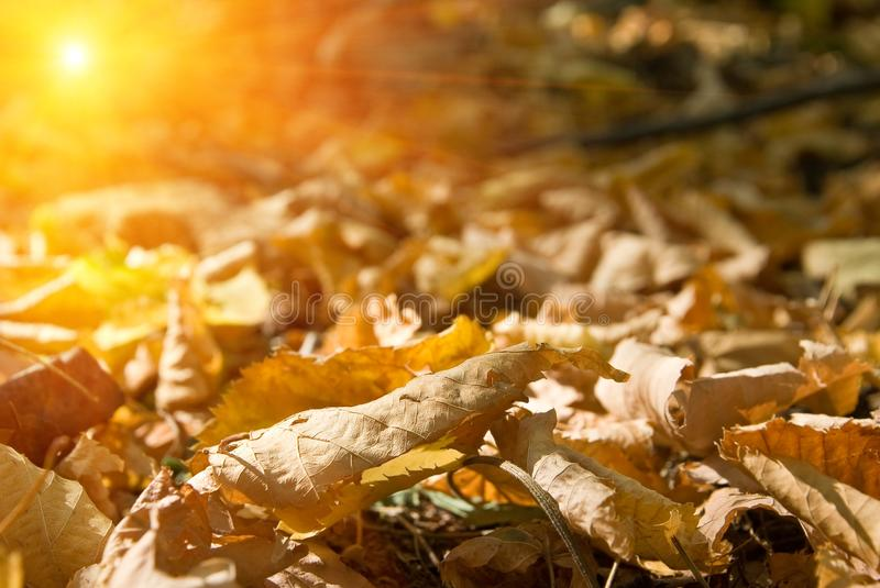 Download Autumn leaves stock image. Image of carpet, magnificent - 11237373
