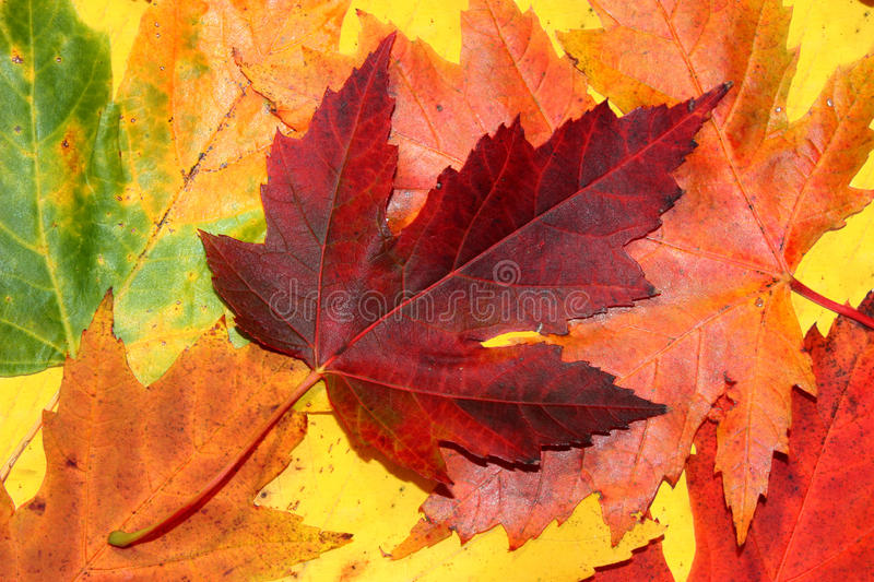 Autumn leaves. Maple autumn leaves close-up royalty free stock photo