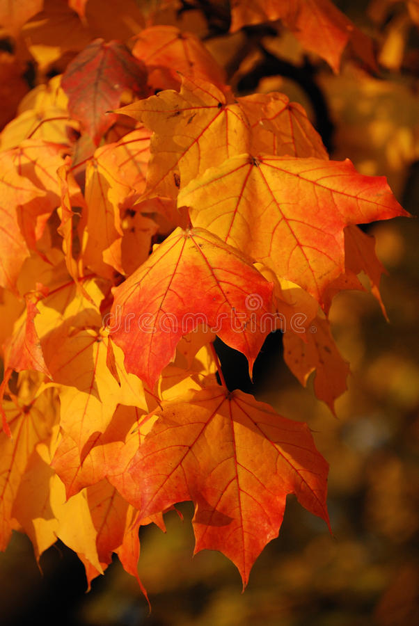 Download Autumn leaves stock image. Image of leaf, glowing, leaves - 11513389