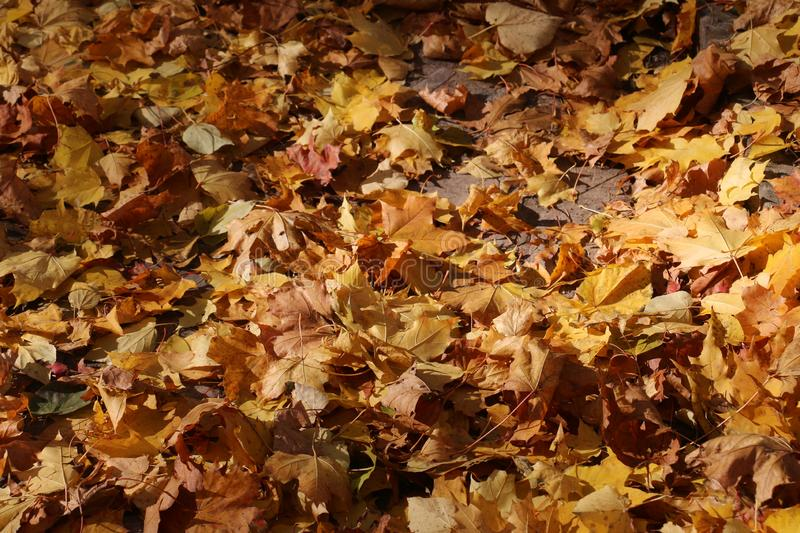 Autumn leaves on a sunnyday royalty free stock photography
