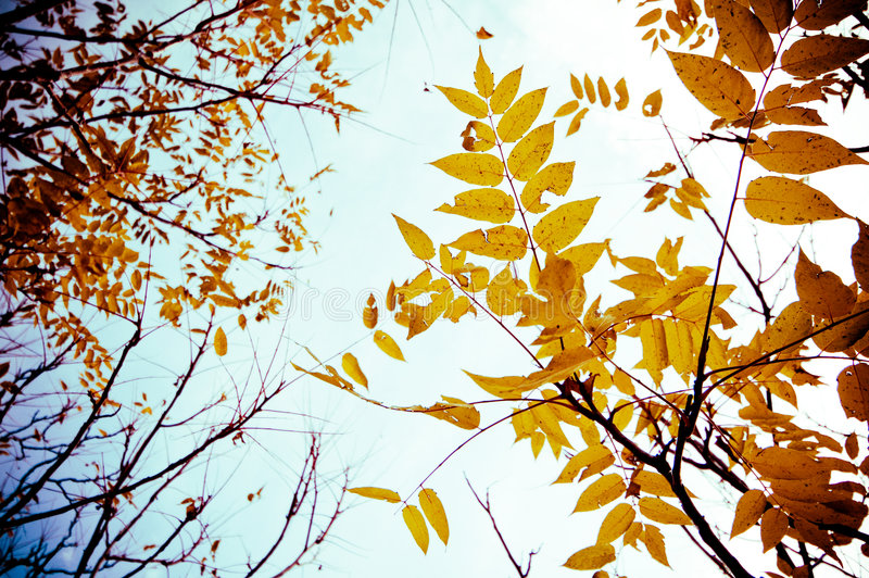 Autumn Leaves. An upward shot of golden-brown autumn leaves royalty free stock photos