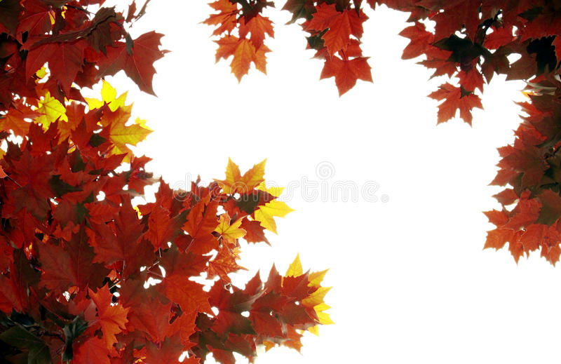 Autumn leaves. On white background royalty free stock photography