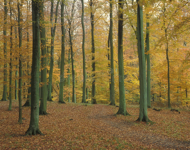 Download Autumn leaves stock photo. Image of tree, beech, outdoor - 1714858