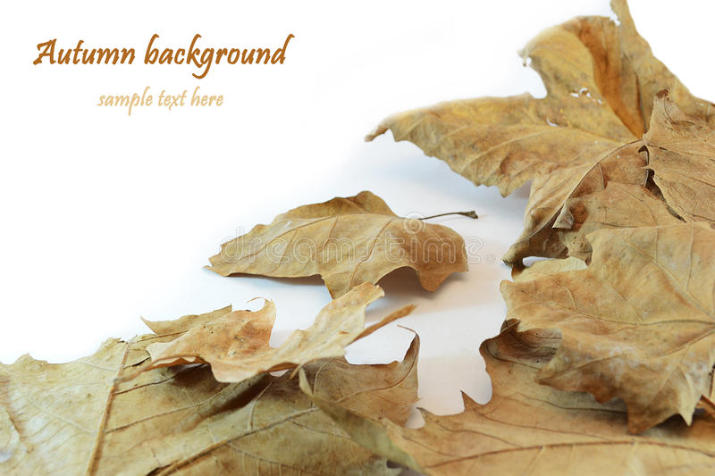 Download Autumn leaves stock photo. Image of beige, leaves, white - 21419424