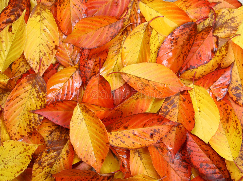 Autumn leaves. Background made of autumn leaves royalty free stock photography