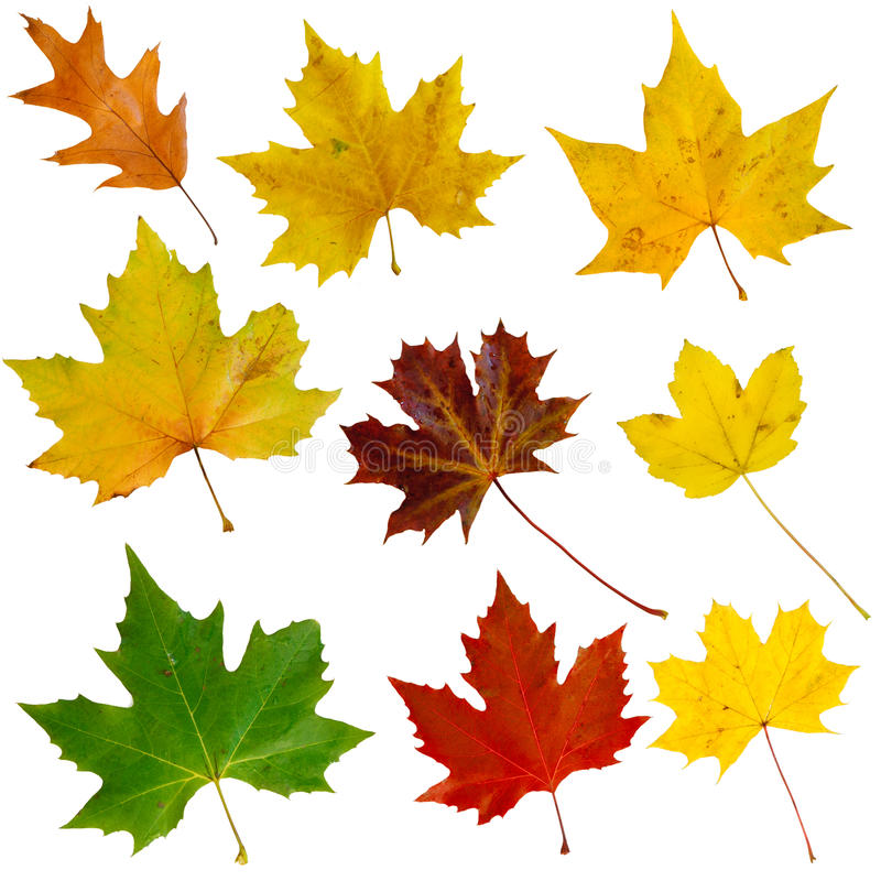 Autumn leaves. Set of nine isolated autumn leaves royalty free stock image