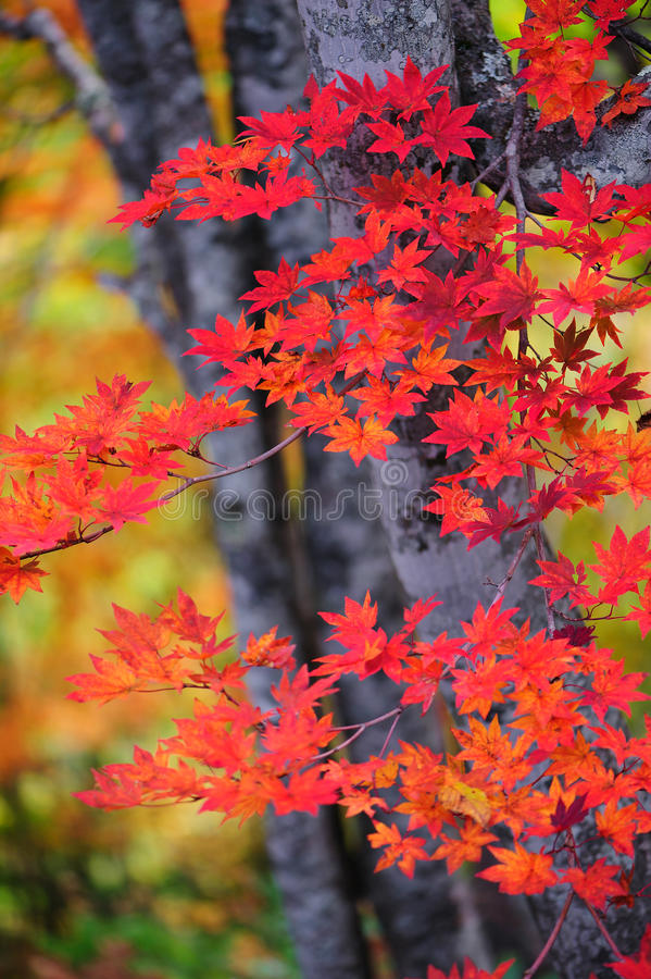 Download Autumn Leaves stock image. Image of branch, orange, nature - 26523859