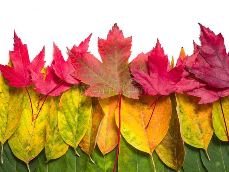 Download Autumn leaves stock image. Image of vibrant, colors, white - 26904159