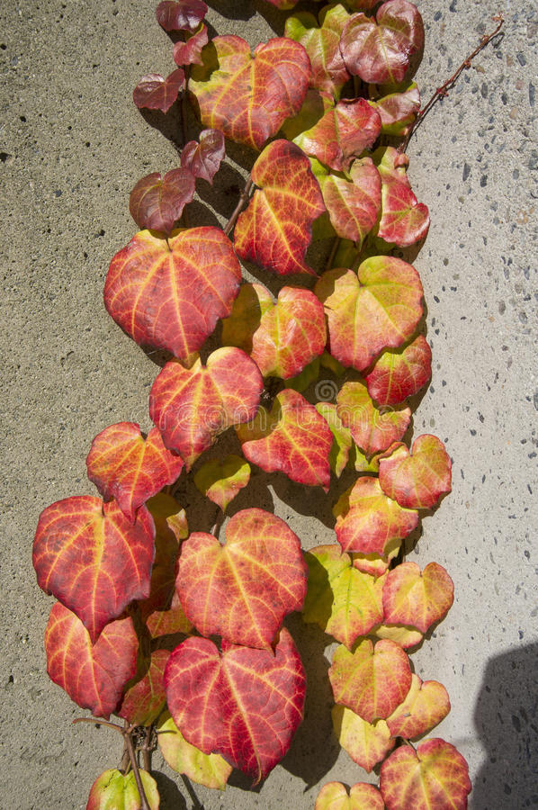 Download Autumn leaves stock photo. Image of concrete, creeping - 27582444