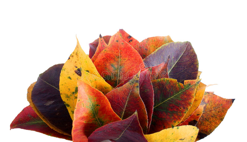 Autumn leaves. Photo of various autumn leaves. Isolated on white background royalty free stock image