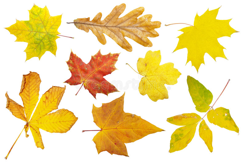Autumn leaves. Nice autumn leaves collection isolated on white in high resolution royalty free stock images