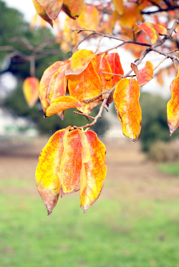 Autumn Leaves. Hanging on branch royalty free stock photo