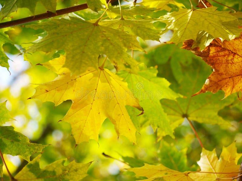 Download Autumn Leaves foto de archivo. Imagen de noviembre, árbol - 44858072