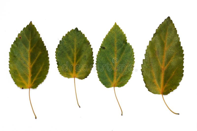 Autumn leaves of aspen closeup. Isolated over white background royalty free stock photos