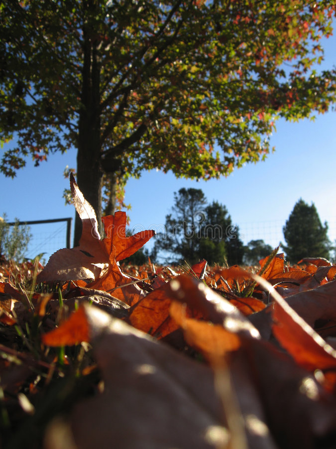 Download Autumn leaves in Australia stock photo. Image of sunny - 729056