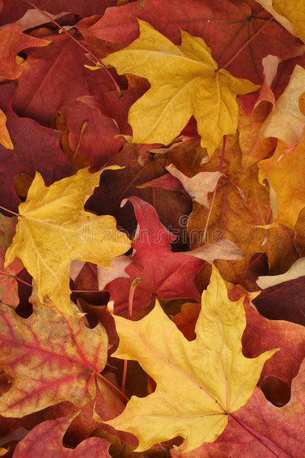 Download Autumn leaves background stock image. Image of maple - 15618093