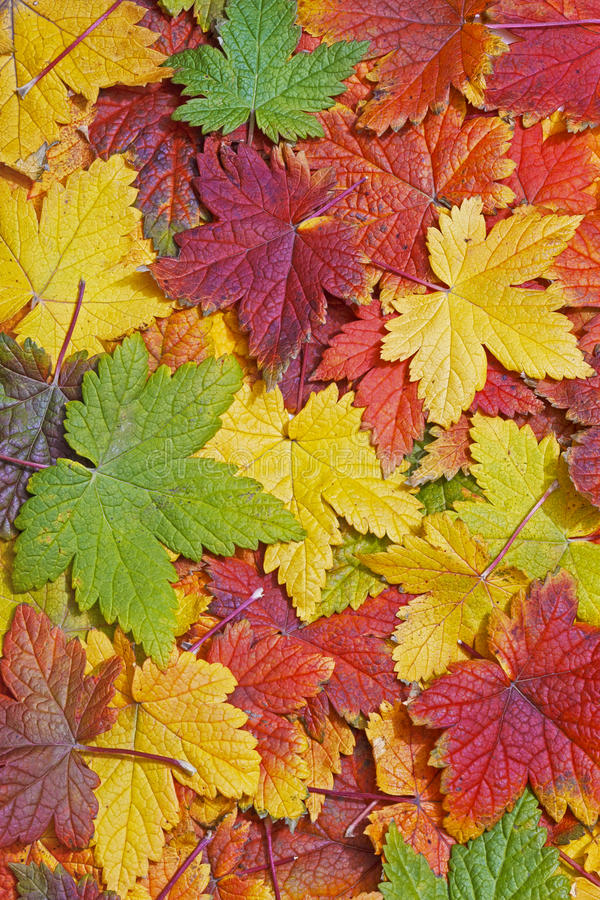 Download Autumn leaves background stock image. Image of autumn - 21456117