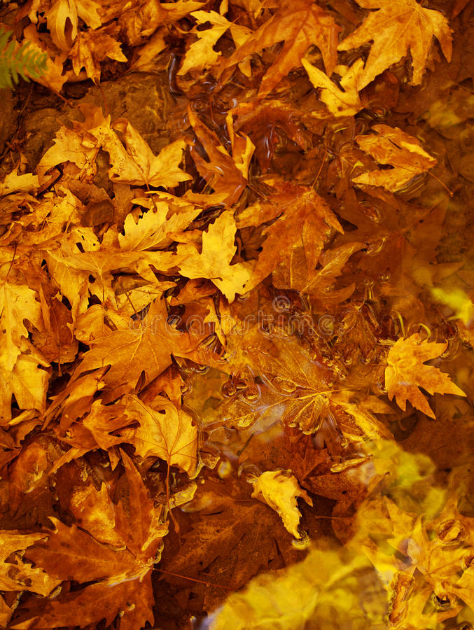 Autumn leaves background. Photo of golden autumn leaves background, natural backdrop, yellow trees foliage, dry brown wood leaf, autumnal nature, fall season royalty free stock photos