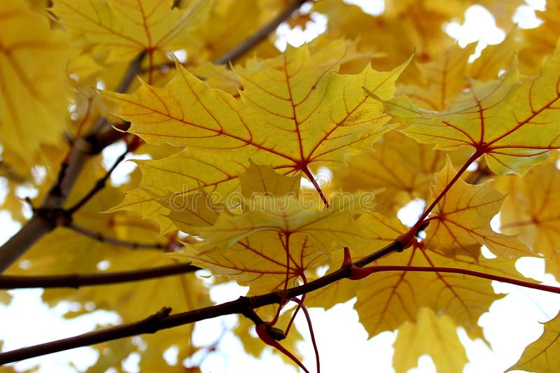 Yellow maple leaf on the tree royalty free stock image
