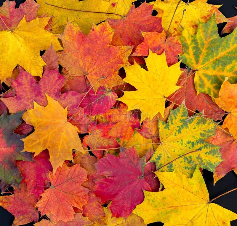 Autumn Leaves Background Feuilles lumineuses d'érable photo stock