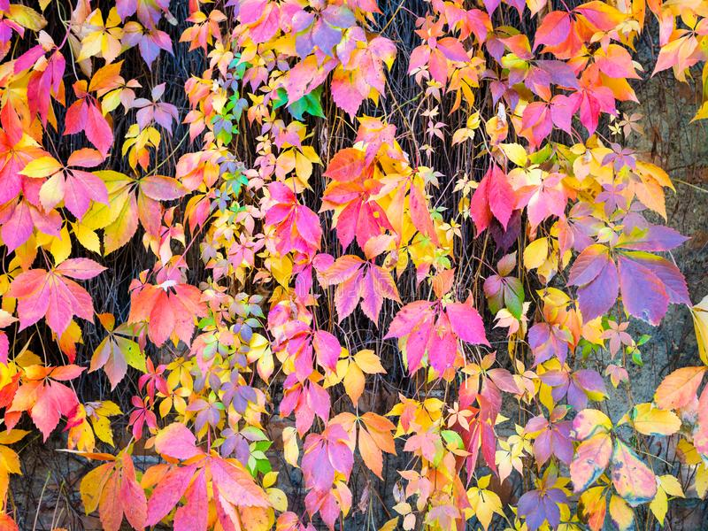 Autumn Leaves Background Macroschot van klimopbladeren die rood o draaien stock afbeelding