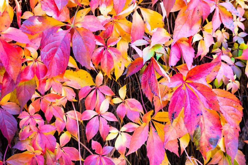 Autumn Leaves Background Macroschot van klimopbladeren die rood o draaien stock foto's
