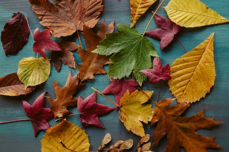 Autumn leaves background. Texture of fallen leaves. Autumnal background. Autumn leaves background. Texture of fallen leaves. Colorful leaves on a blue wooden royalty free stock image