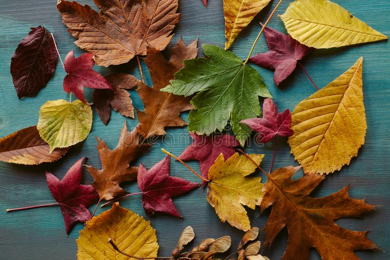 Autumn leaves background. Texture of fallen leaves. Autumnal background. Autumn leaves background. Texture of fallen leaves. Colorful leaves on a blue wooden stock photography