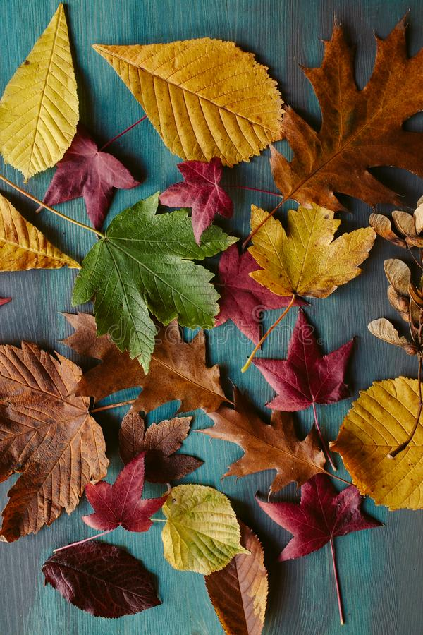 Autumn leaves background. Texture of fallen leaves. Autumnal background. Autumn leaves background. Texture of fallen leaves. Colorful leaves on a blue wooden royalty free stock photo