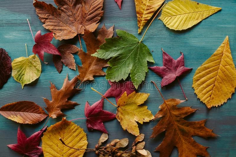 Autumn leaves background. Texture of fallen leaves. Autumnal background. Autumn leaves background. Texture of fallen leaves. Colorful leaves on a blue wooden royalty free stock images