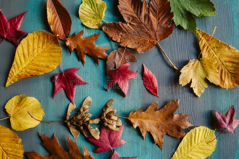 Autumn leaves background. Texture of fallen leaves. Autumnal background. Autumn leaves background. Texture of fallen leaves. Colorful leaves on a blue wooden royalty free stock photography