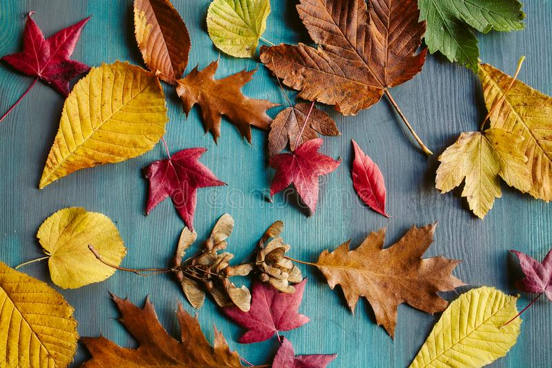Autumn leaves background. Texture of fallen leaves. Autumnal background. Autumn leaves background. Texture of fallen leaves. Colorful leaves on a blue wooden stock images