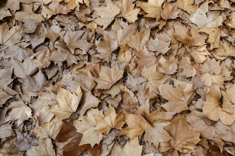 Autumn leaves background texture. Maple Leaf Type royalty free stock photography
