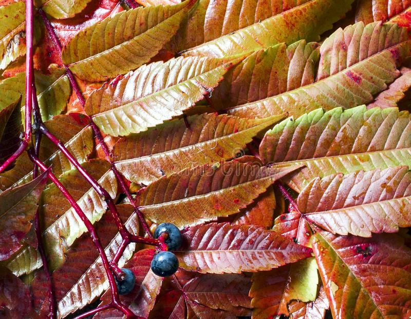 wet sumac leaves with a branch of wild grapes stock photography