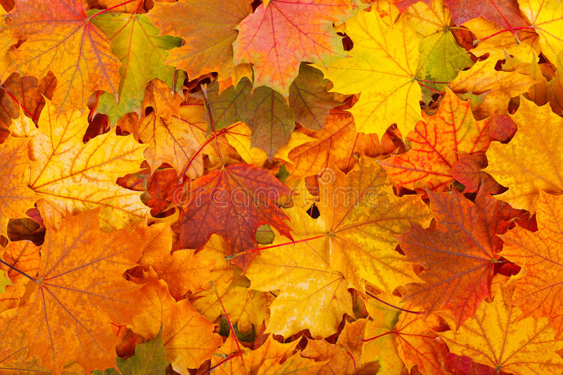 Autumn leaves. Leaves in beautiful autumn colors as background royalty free stock image