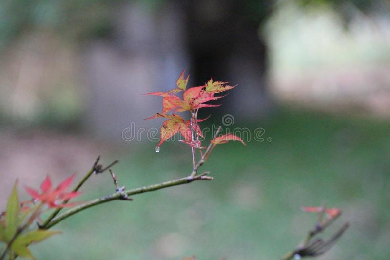 Autumn Leaves and Water Drop on Leaf stock photo