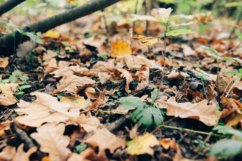Autumn leaves. Beautiful fall yellow and brown leaves on ground in forest. Autumnal background. Oak tree leaf stock images