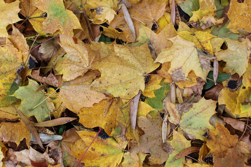 Autumn leaves. Beautiful falling leaves in a autumn day royalty free stock photography