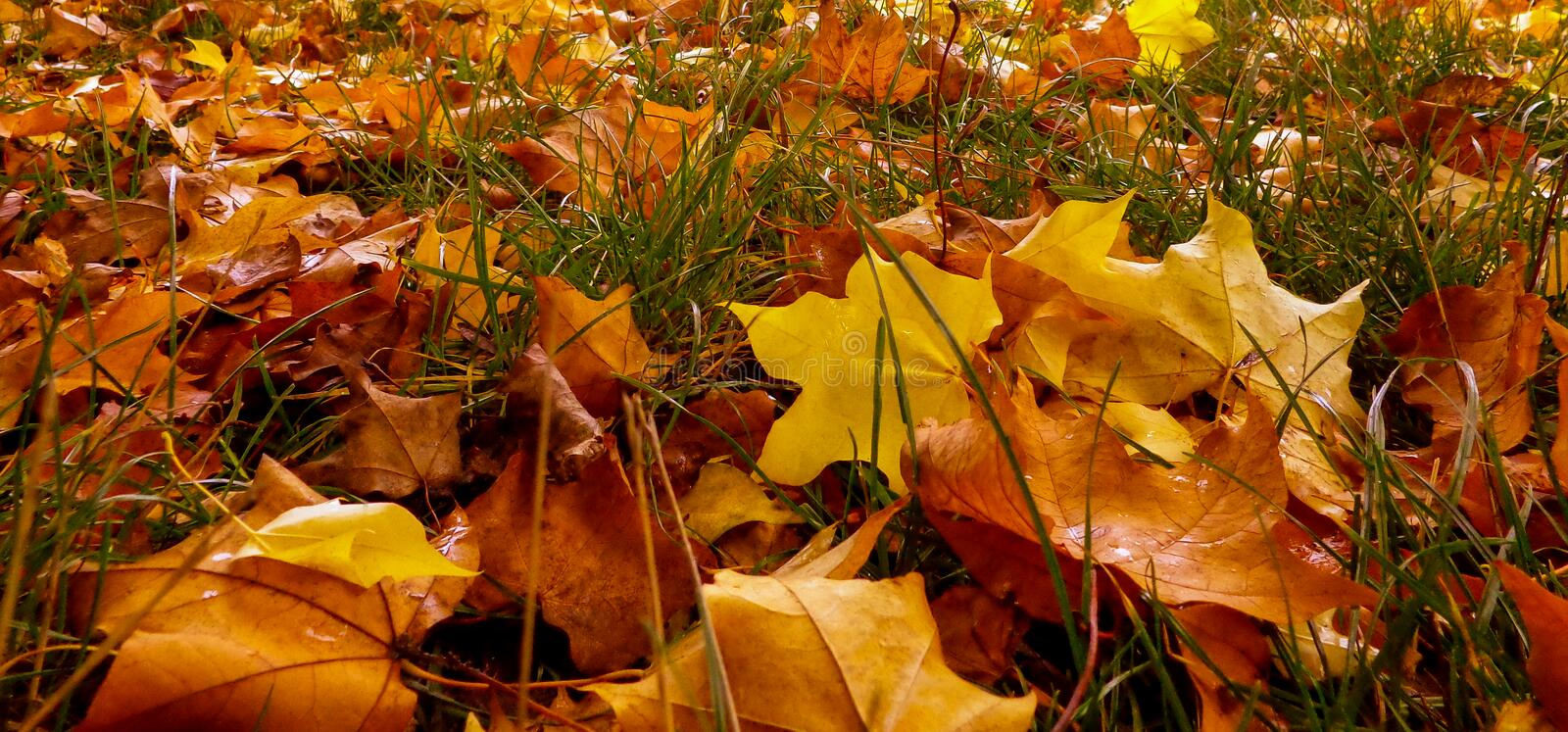 Autumn leaves. Beautiful autumn leafs starting to fall from the trees stock image