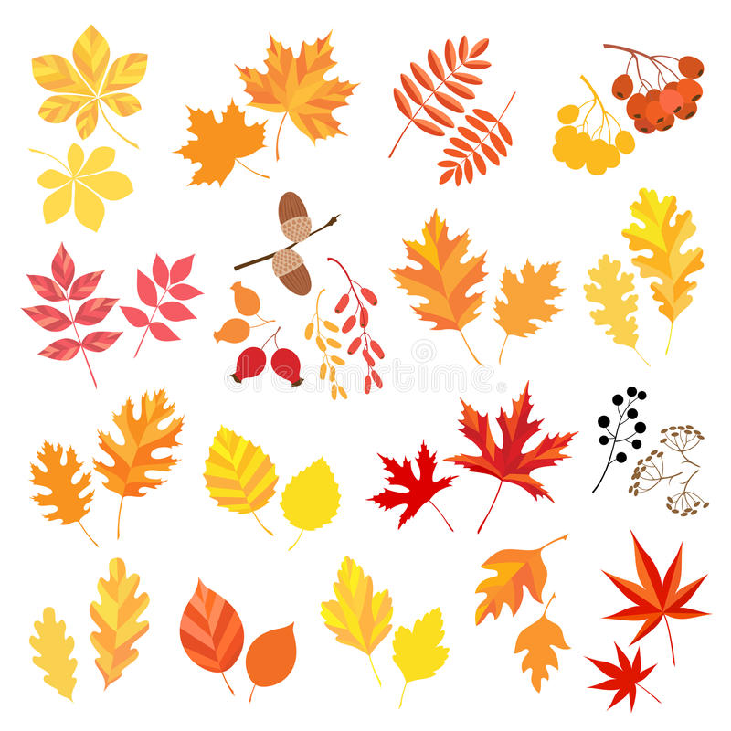 Autumn leaves and berries. Collection of autumn leaves and berries vector illustration