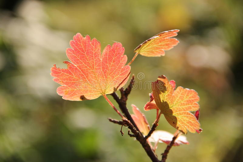 Autumn leaves of black gooseberry royalty free stock photo